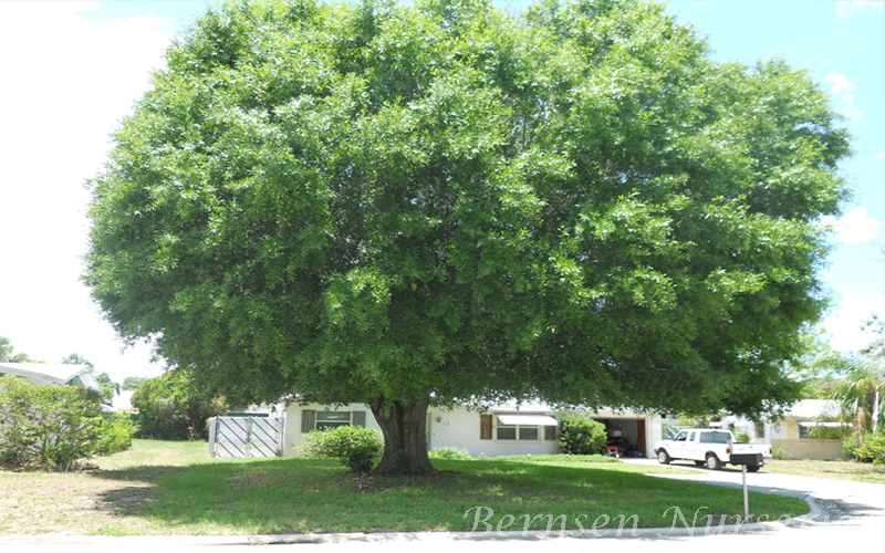 Laurel Oak Tree Naples