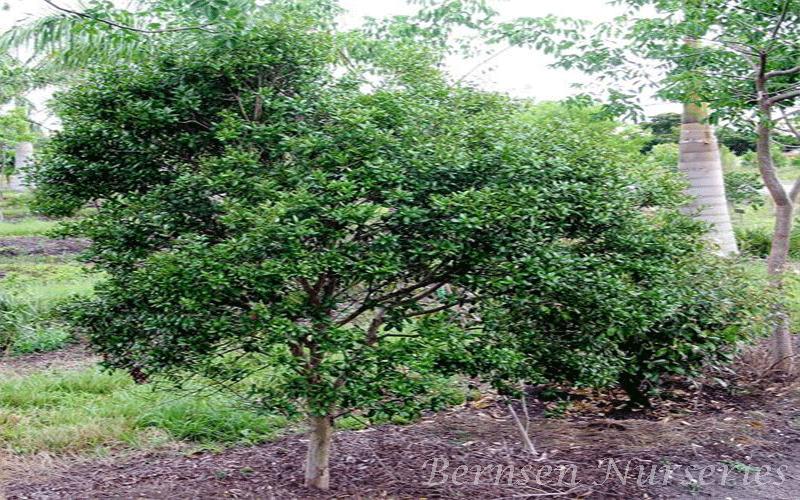 Simpson S Stopper Tree Naples